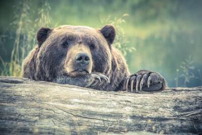 Bear looking on wistfully